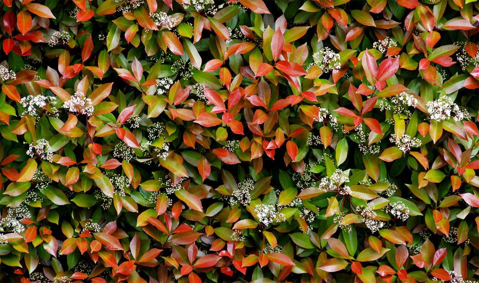 Le migliori piante da siepe geo3 for Piante siepe sempreverde